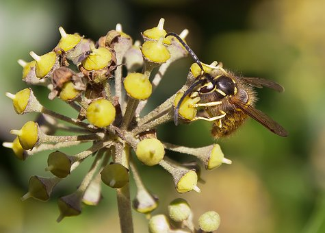 Wasp, Blossom, Bloom, Ivy, Late Summer, Autumn, Insect