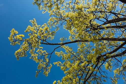 Maple, Acer Platanoides, Blossomed, Inflorescence