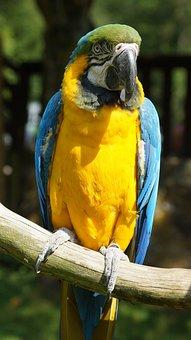 Ara, Parrot, Bird, Yellow Breast, Home Guard