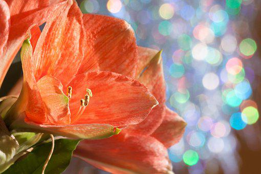 Amaryllis, Salmon Pink, Blossom, Bloom, Flower, Plant
