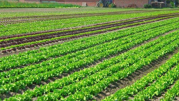 Salad, Plantation, Vegetables, Agriculture