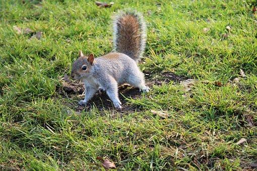 Squirrel, London, Park, Grass, England, Animal, Mammal