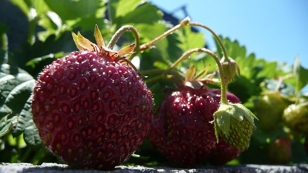 Strawberries, Red, Pink, Ripe, Fruits, Green, Leaves