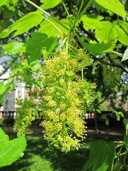 Acer Pseudoplatanus, Sycamore, Sycamore Maple, Tree