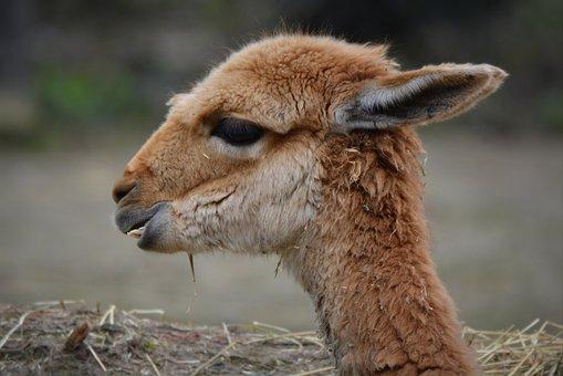 The Vicuña, Animal, Mammal