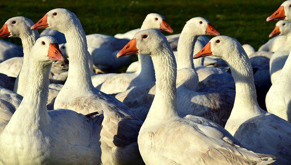 Geese, Geese Schaar, White, Water Bird, Spring Dress