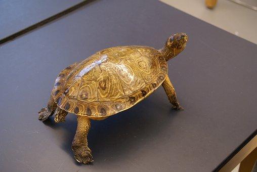 Turtle, Animal, Reptile, Macro, Close-up, Nature