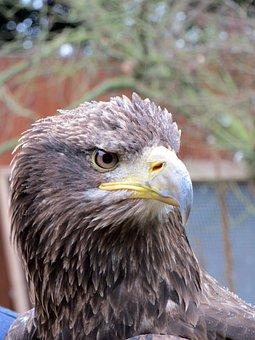 Eagle Head, Head Of Eagle, Eagle, Bird, Head, American