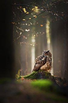 Owl, Bird, Forest, Forest Animal, Predator, Nature