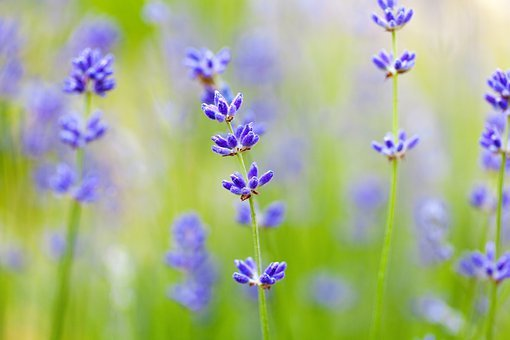 Blurred Background, Bloom, Close, Flora, Floral, Flower