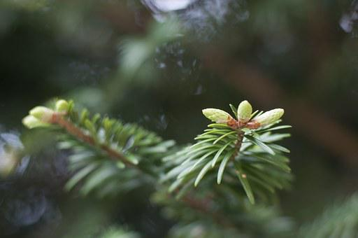 Cedar, Leaves, Buds