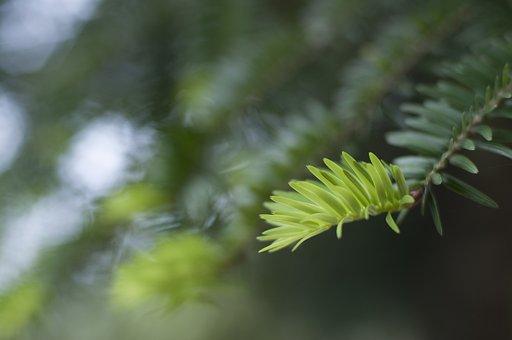 Cedar, Leaves, Life
