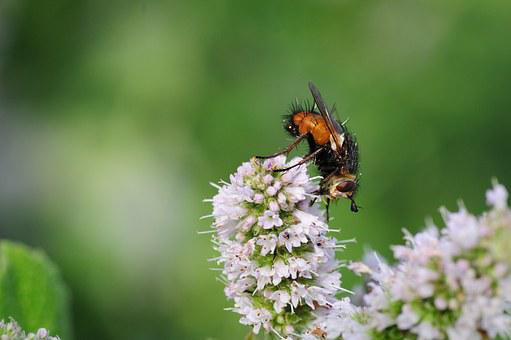 Fly, Hoverfly, Insect, Garden, Nature, Summer