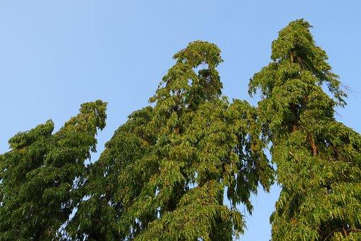 Polyalthia Longifolia, Tree, False Ashoka
