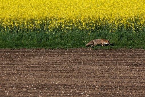 Fuchs, Red Fox, Vulpes Vulpes, Reddish, Brown