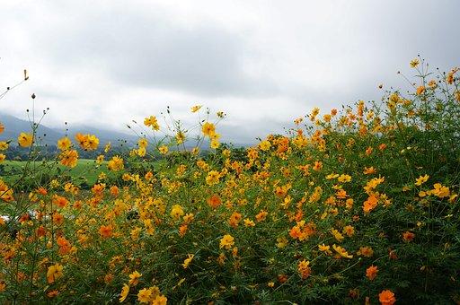 Sea Of Flowers, Pai, The Universe, Yellow, Grassland