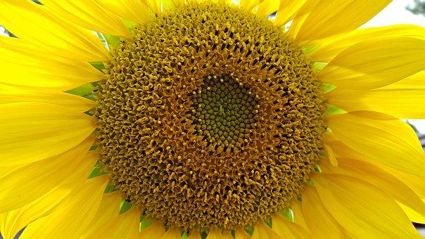 Sunflower, Large, Garden, Gardening, Yellow, Summer