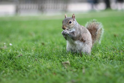 Squirrel, Wildlife, Animals, London, Animal, England