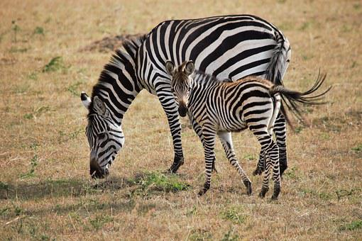 Africa, Kenya, Zebra, Wildlife, Safari, Animal, Nature