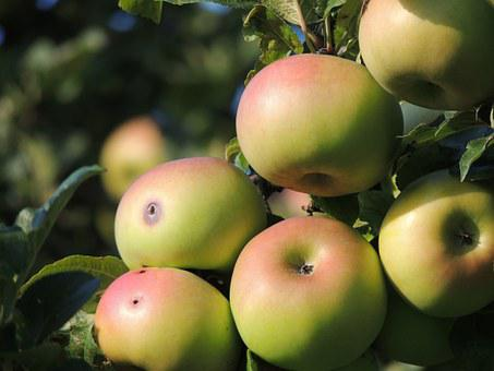Apple, Apfelernte, Apple Tree, Orchard, Windfall