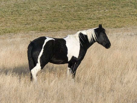 Quarter Horse, Horse, Painted Horse, Meadow, Animal