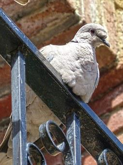Turtledove, Ave, Balcony, Bird