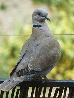 Turtledove, Balcony, Ave, Bird, Detail