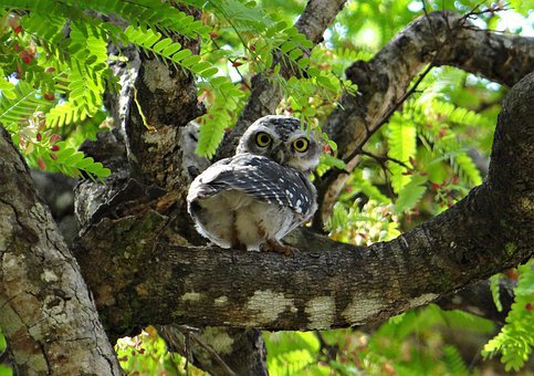 Spotted Owlet, Owl, Athene Brama, Bird, Nocturnal