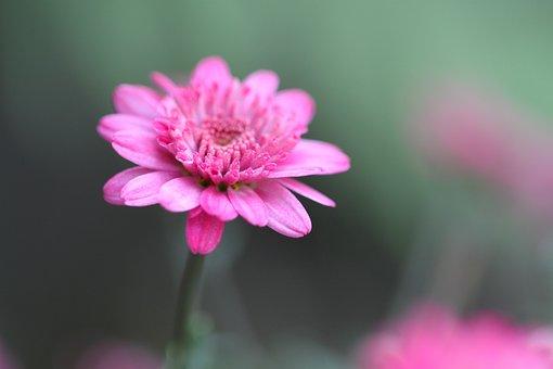 Blossom, Bloom, Pink, Macro, Garden, Flowers, Plant