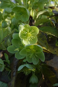 Corsican Hellebore, Hellebore, Blossom, Bloom, Flower