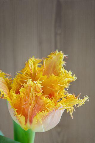 Flower, Tulip, Blossom, Bloom, Yellow, Orange, Close