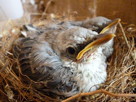 Bird, Ave, Turtledove, Chick