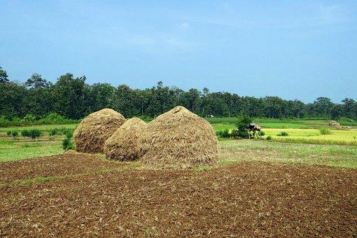Paddy Harvest, Hay Stack, Workers, Kalghatgi, Dharwad