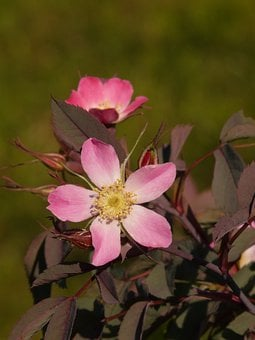 Dog Rose, Hagros Or Wild Rose, Pink, Flower, Blossom