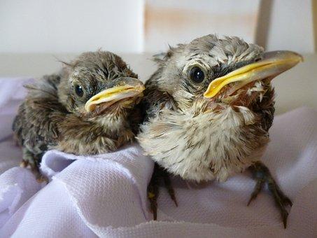 Bird, Ave, Turtledove, Nature, Chick, Fauna