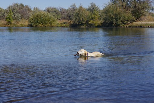 Dog, Fetch, Retrieve, Golden Retriever, Water, Swim