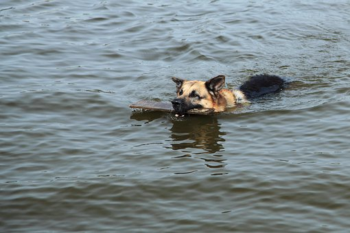 Action, Active, Animal, Dog, Fetch, Lake, Pet, Play