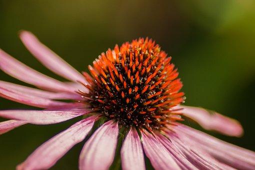 Conehead, Flower, Pink, Petal, Blossom, Bloom