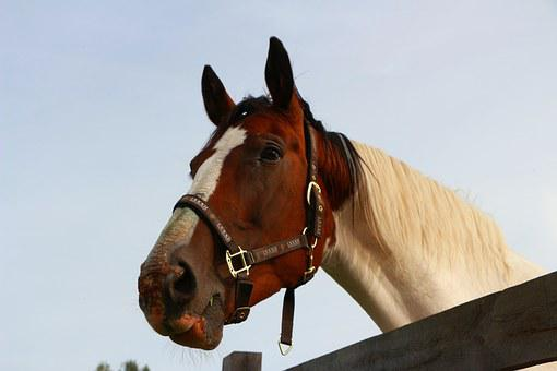 Horse, Portrait, Brown And White, Horse Head, Low Angle
