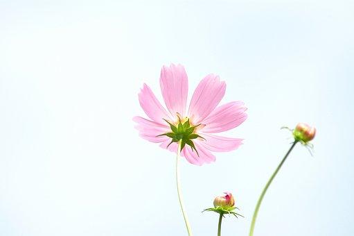 Tabitha, Nature, Plants, Flowers, Cosmos, Autumn