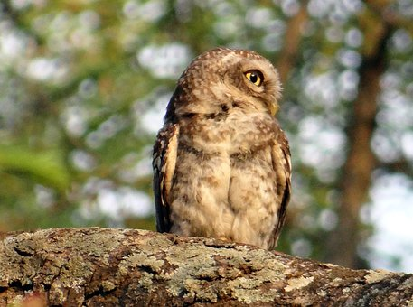 Spotted Owlet, Athene Brama, Bird, Owl, Nocturnal