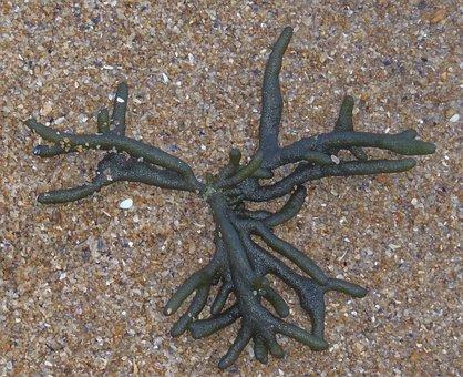 Stackhouse Seaweed, Ocean, Green Seaweed, Spongy, Water