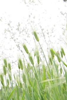 Spica, Tabitha, Barley, Nature, Plants
