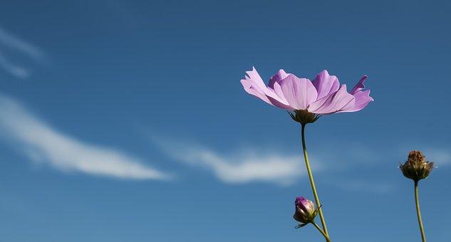 Cosmos, Autumn, Tabitha, Cosmos Field, Purple, Flowers