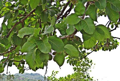 Madhuca Longifolia, Mahwa, Mahua, Fruits, Iluppai, Tree