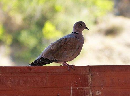 Turtledove, Ave, Bird