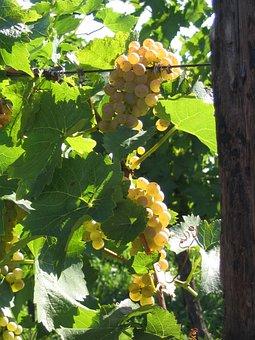 Grapes, White, Vine, Vineyard, Wine, Winery