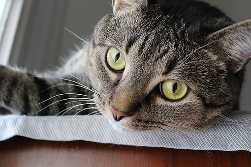 Cat, Pets, Home, Animal, Cute, Domestic, Fur, Adorable