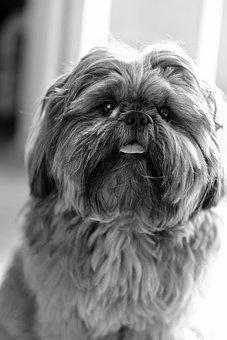 Dog, Shih Cricket, Shihzu, Black And White, Bundw