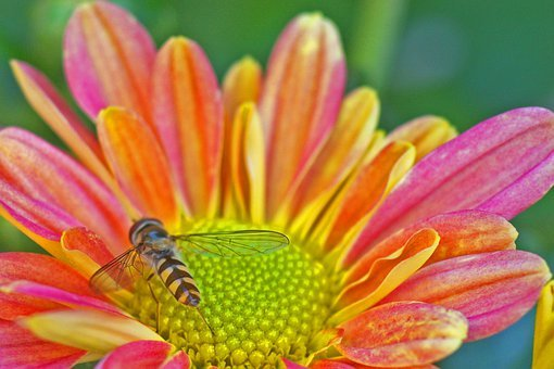 Hoverfly, Insect, Nature, Blossom, Bloom, Summer